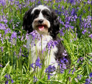 Dog In Bluebell Field