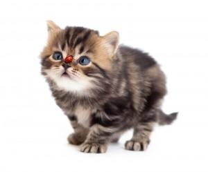 Tabby Kitten And Ladybird On On Nose Isolated