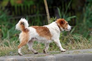 Little Dog Walking