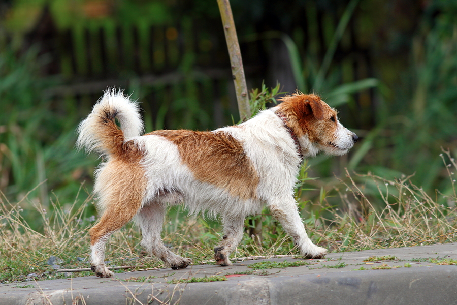 Image of: Senior Little Dog Walking Petful What To Do About Stray Cats And Dogs Pet Sitting And Dog Walking