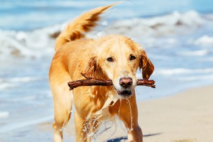 Happy Young Golden Retriever.  Adorable Dog Running on the Beach