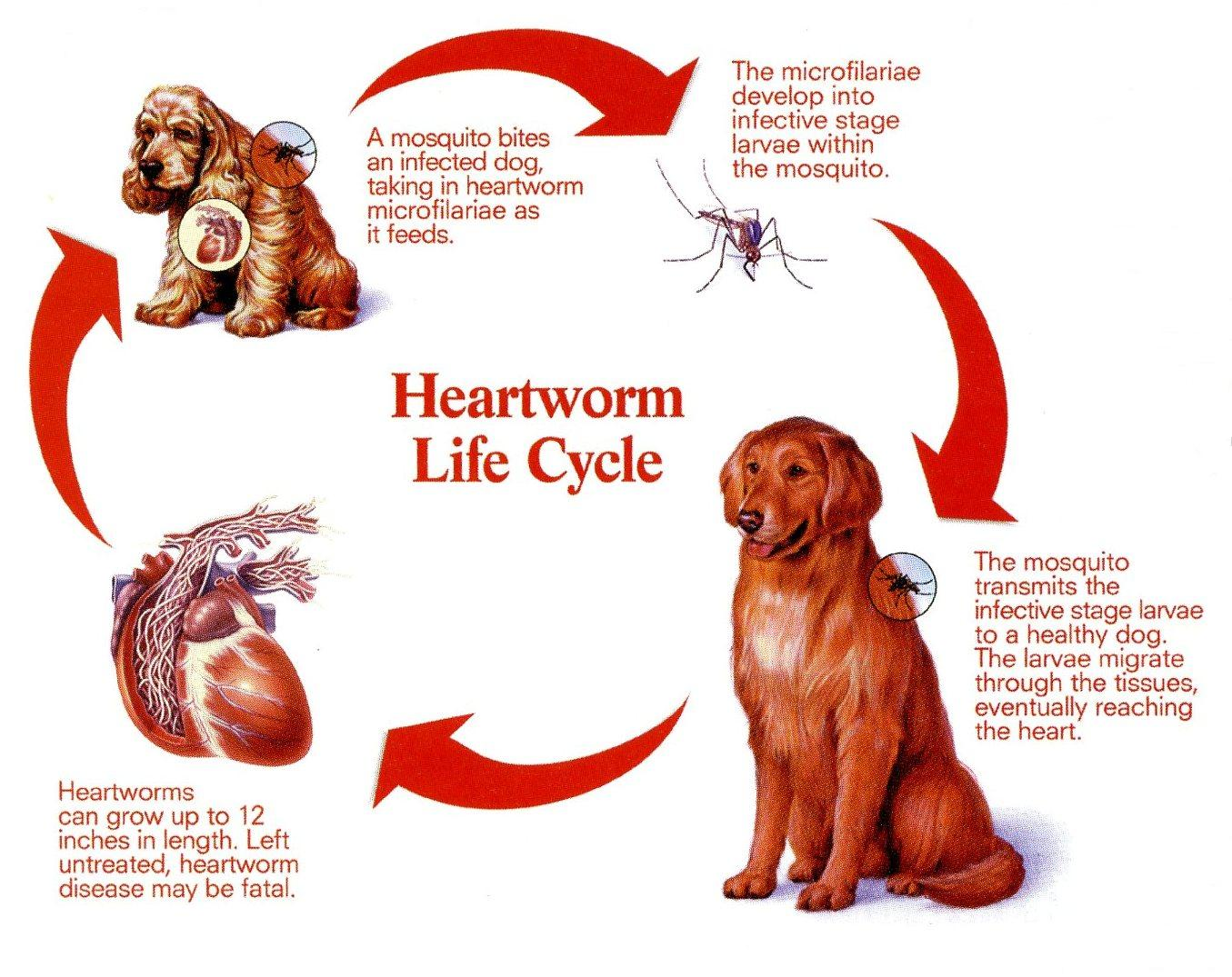 Heartworm Disease In Dogs Pictures