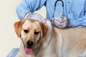 Dog Getting Vaccination