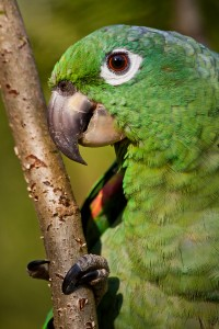Beautiful green parrot in the rainforest , Yasuni National Park,